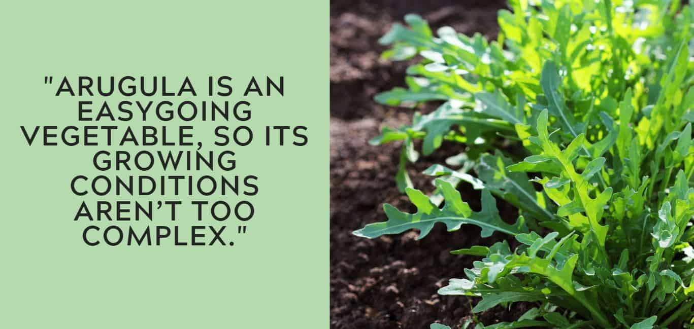 Arugula is an easygoing vegetable, so its growing conditions aren't too complex.