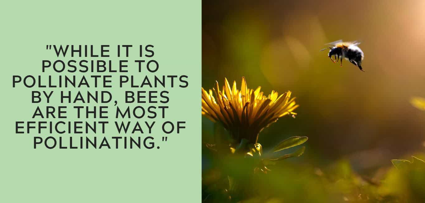 """While it is possible to pollinate plants by hand, bees are the most efficient way of pollinating."""