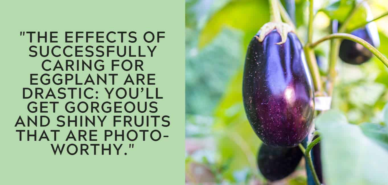"""the effects of successfully caring for eggplant are drastic: you'll get gorgeous and shiny fruits that are photo-worthy."""