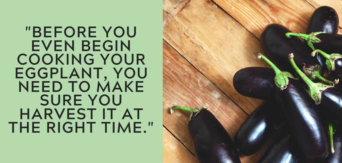 """Before you even begin cooking your eggplant, you need to make sure you harvest it at the right time."""