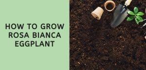 How to Grow Rosa Bianca Eggplant