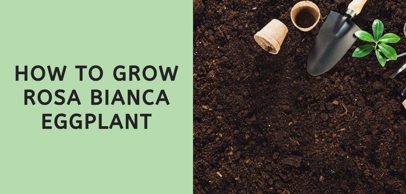How to Grow Rosa Bianca Eggplant