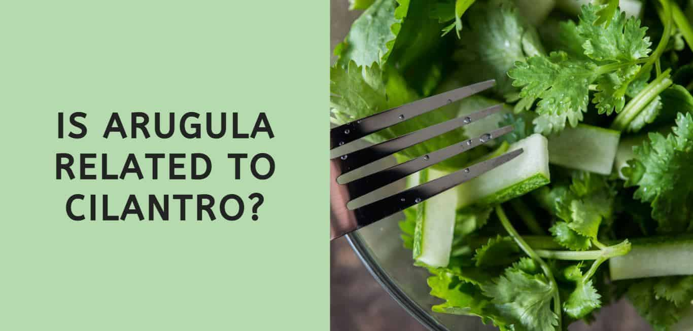 Is Arugula Related to Cilantro?