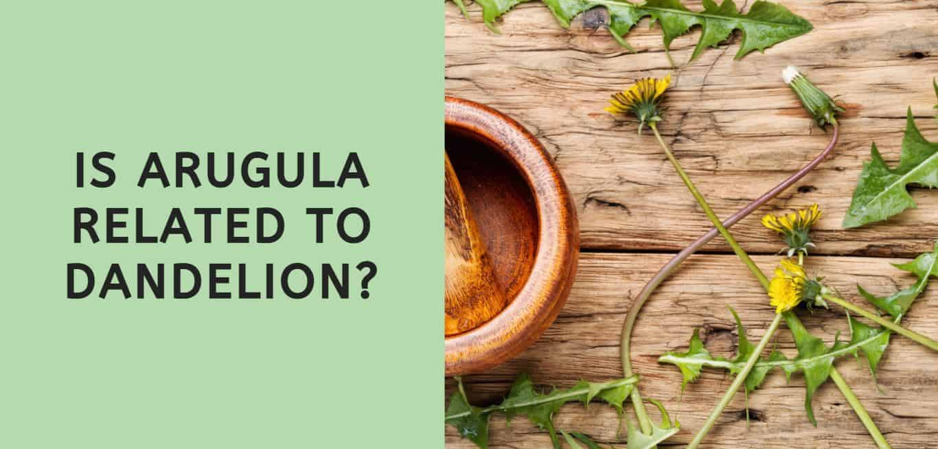 Is Arugula Related to Dandelion?