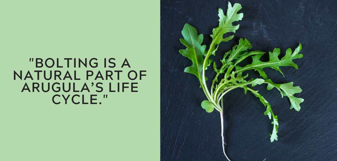 Bolting is a natural part of arugula's life cycle.