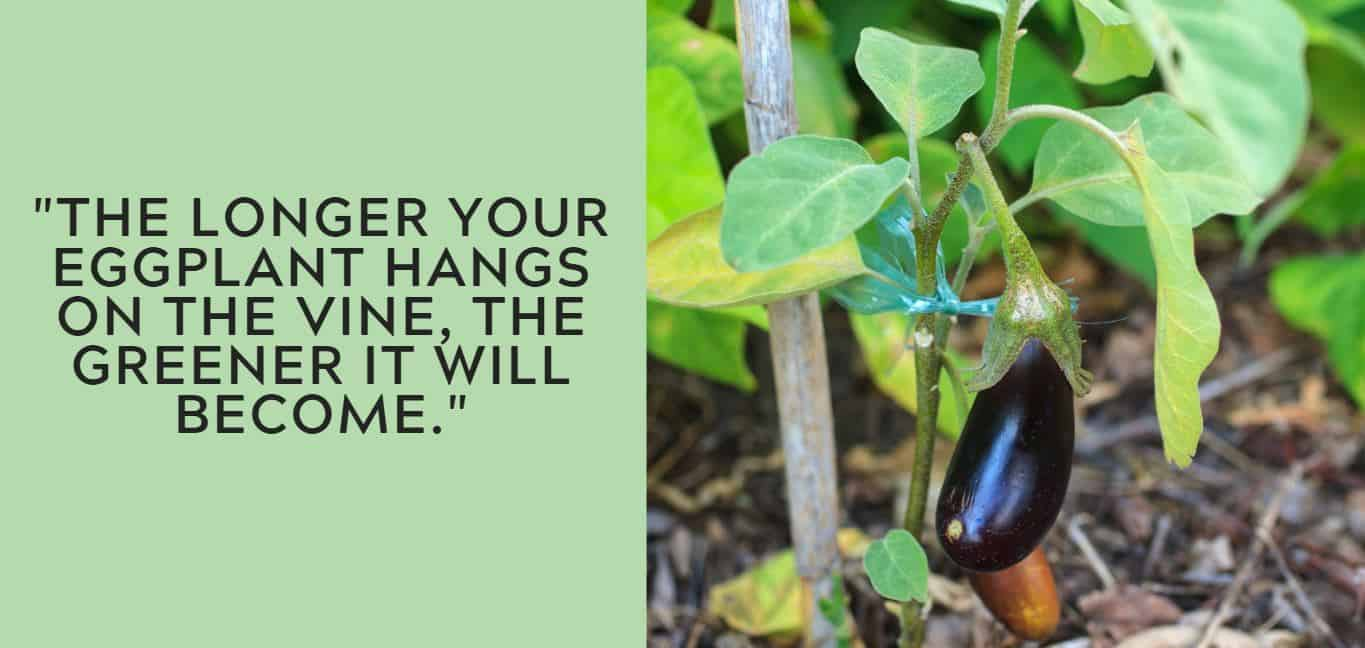"""The longer your eggplant hangs on the vine, the greener it will become."""