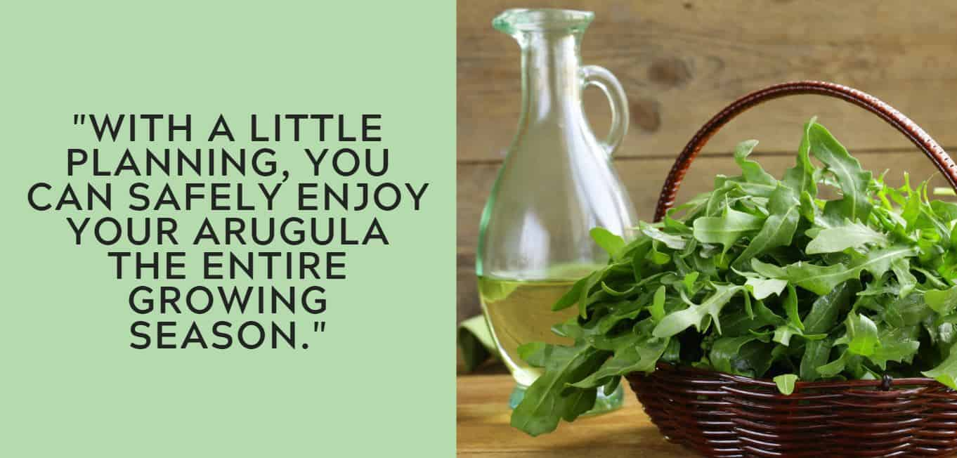 """With a little planning, you can safely enjoy your arugula the entire growing season."""