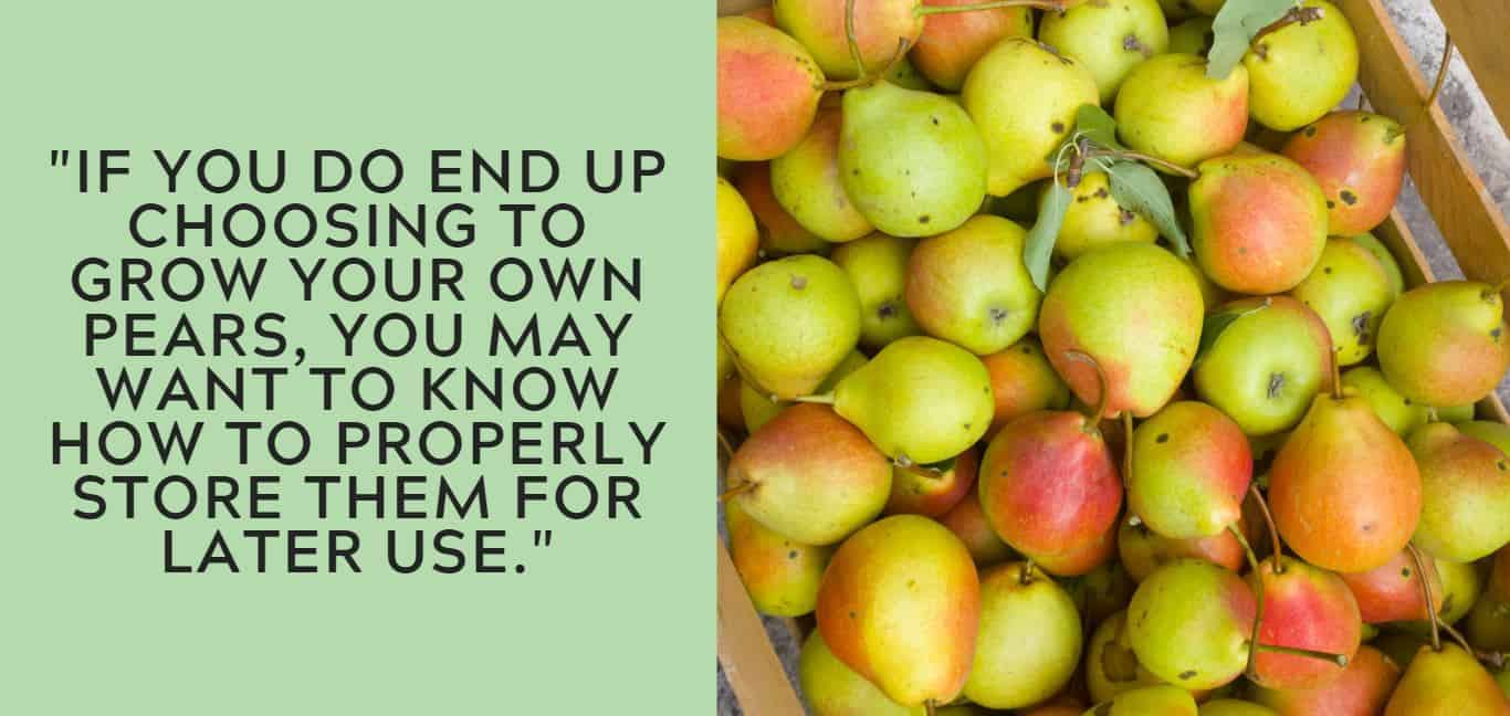 """If you do end up choosing to grow your own pears, you may want to know how to properly store them for later use."""