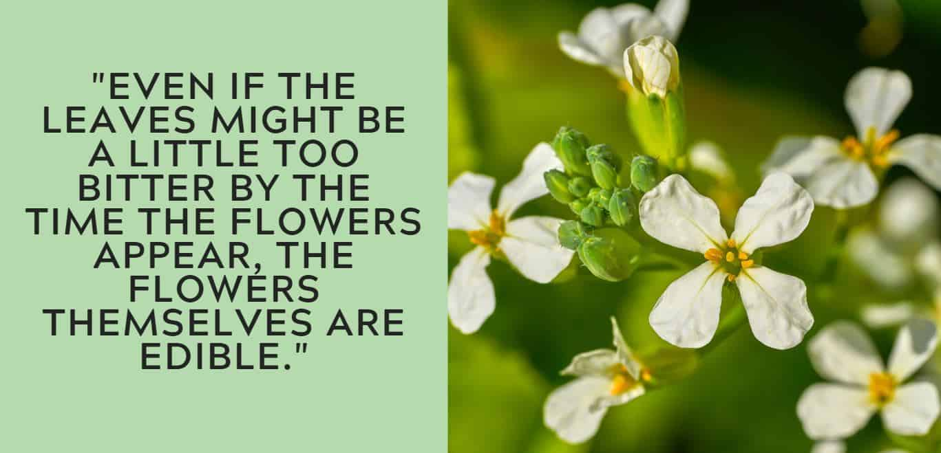 """""""Even if the leaves might be a little too bitter by the time the flowers appear, the flowers themselves are edible."""""""