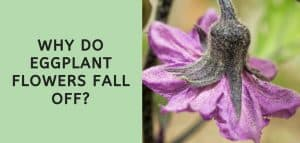 Why Do Eggplant Flowers Fall Off?