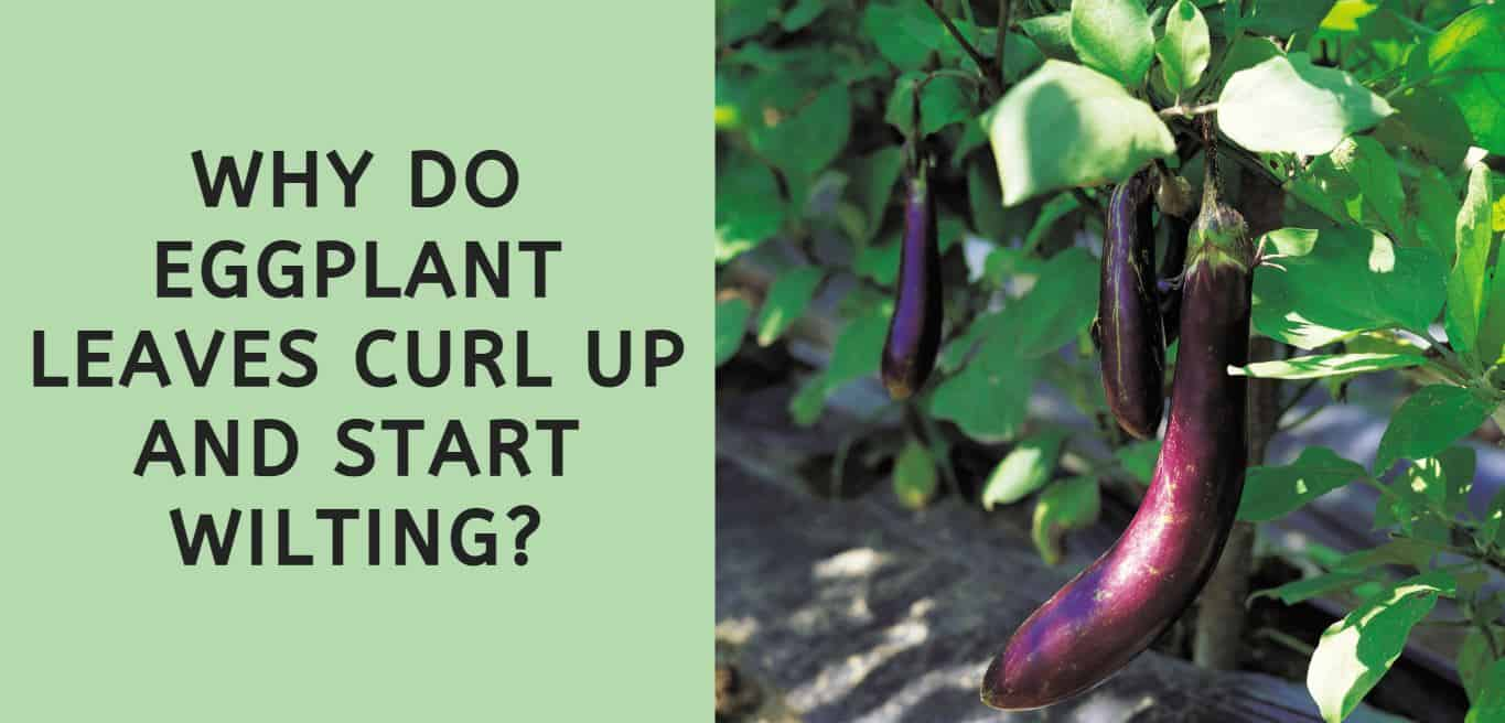 Why Do Eggplant Leaves Curl Up and Start Wilting?