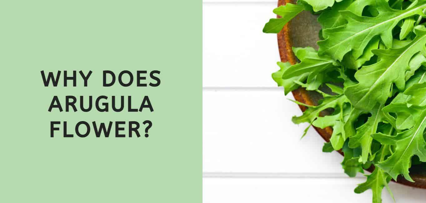 Why Does Arugula Flower?
