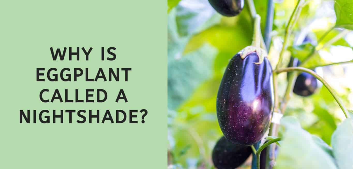Why is Eggplant Called a Nightshade?