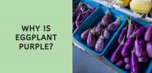 why is eggplant purple?