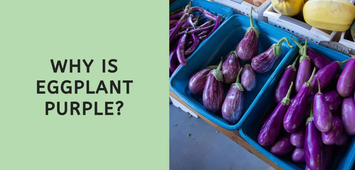 why is eggplant purple?