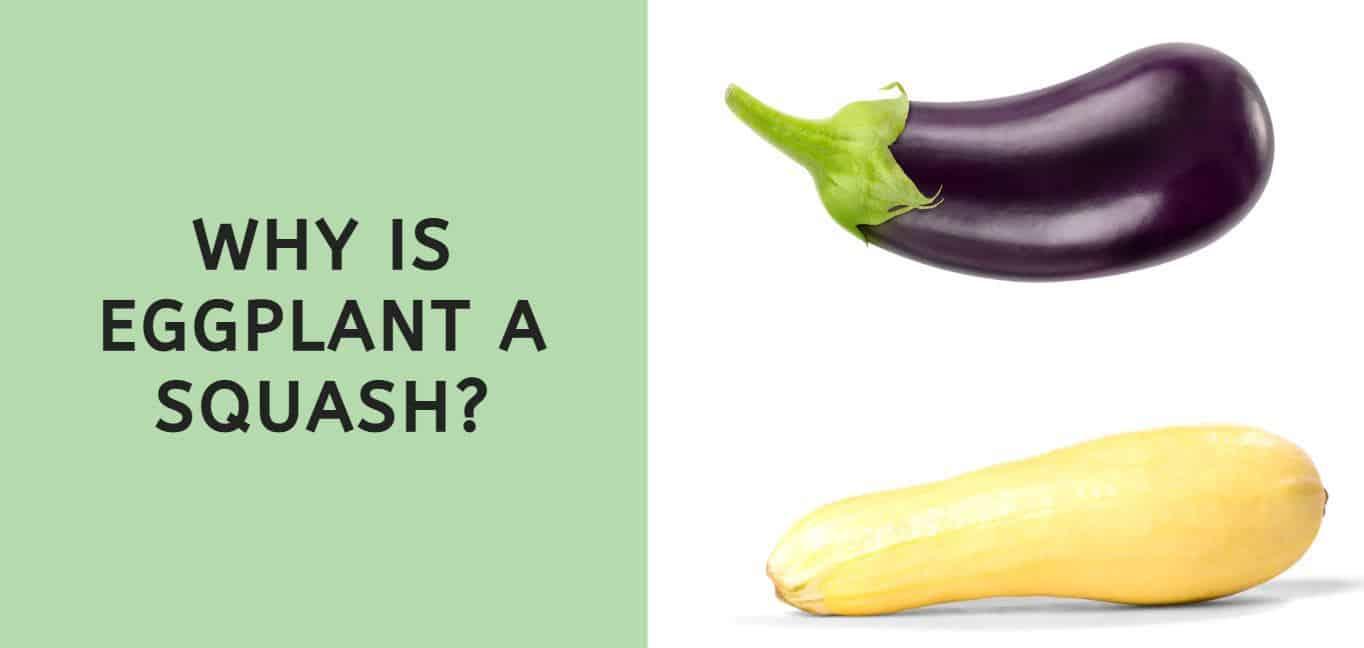 Why is Eggplant a Squash?