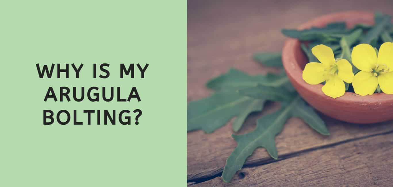 Why is My Arugula Bolting?