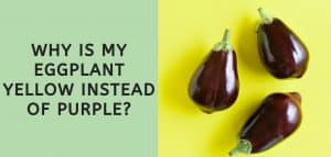 why is my eggplant yellow instead of purple?