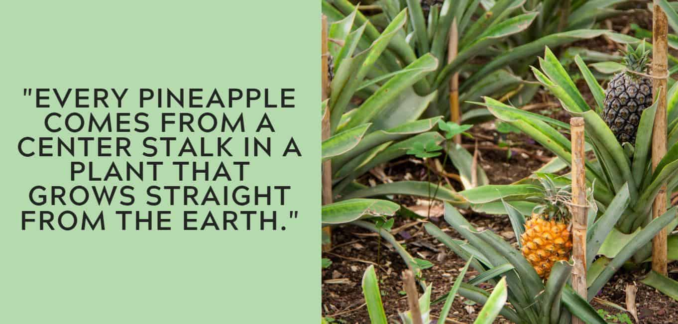 """""""Every pineapple comes from a center stalk in a plant that grows straight from the earth."""""""