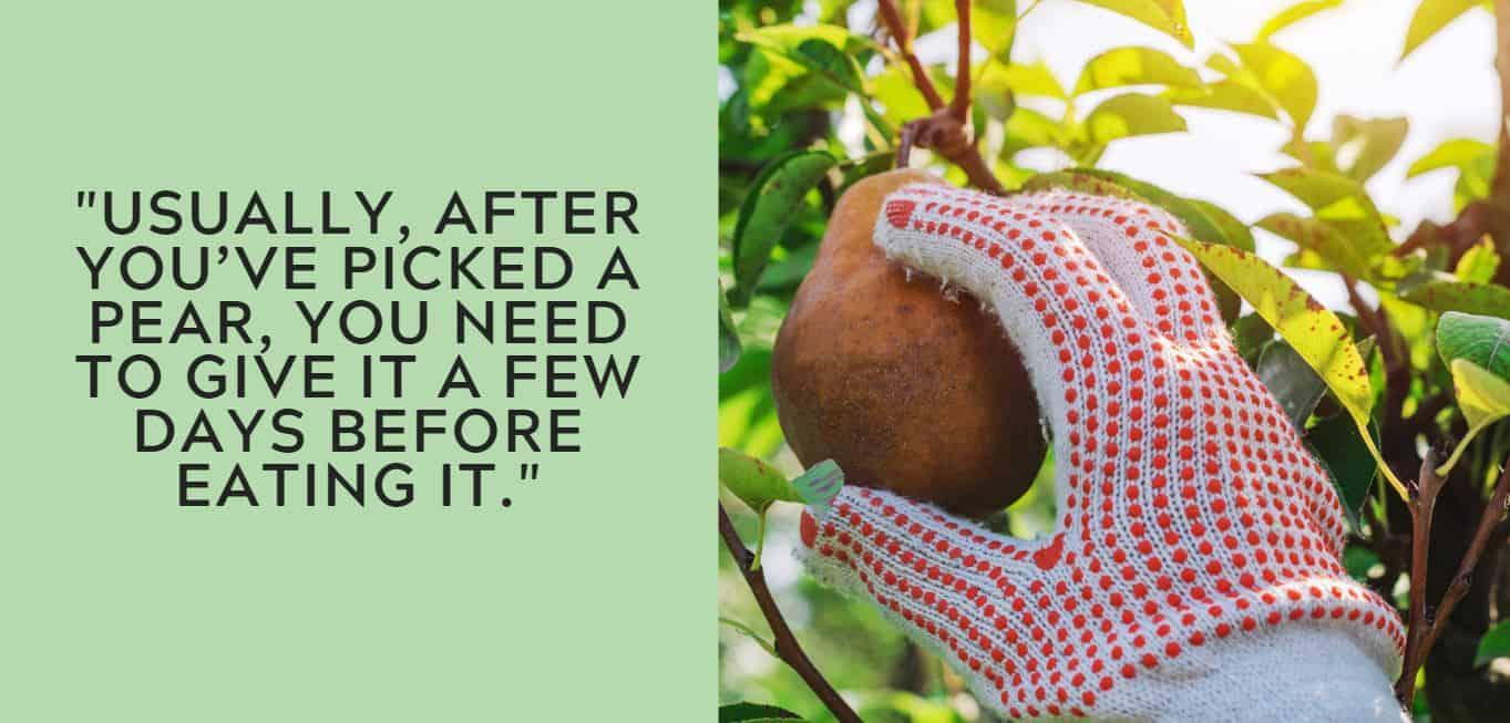"""""""Usually, after you've picked a pear, you need to give it a few days before eating it."""""""