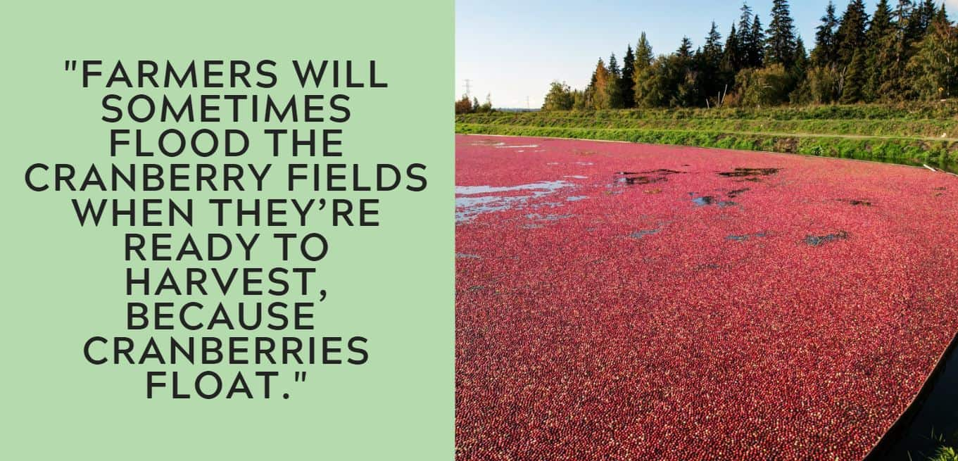 """""""Farmers will sometimes flood the cranberry fields when they're ready to harvest, because cranberries float."""""""