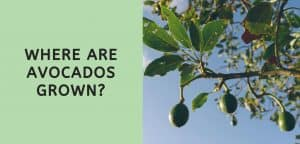 Where are Avocados Grown