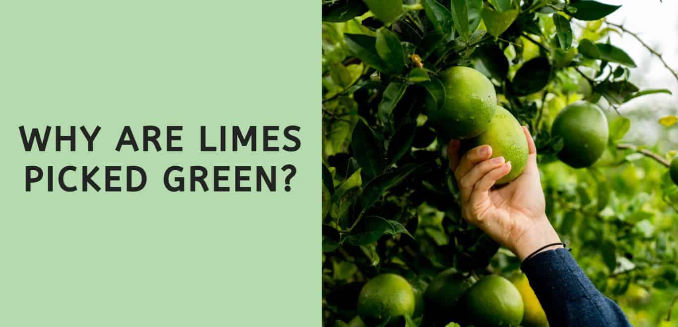 Why are Limes Picked Green?
