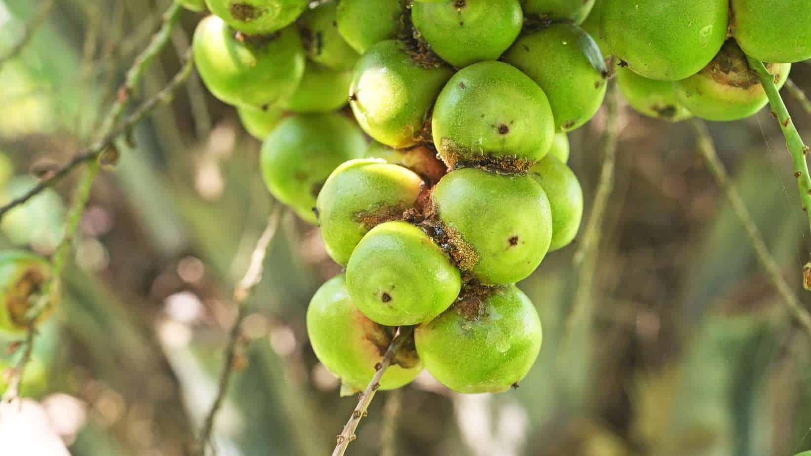 Yatay Palm Fruit