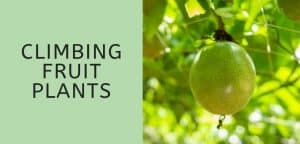 Climbing Fruit Plants