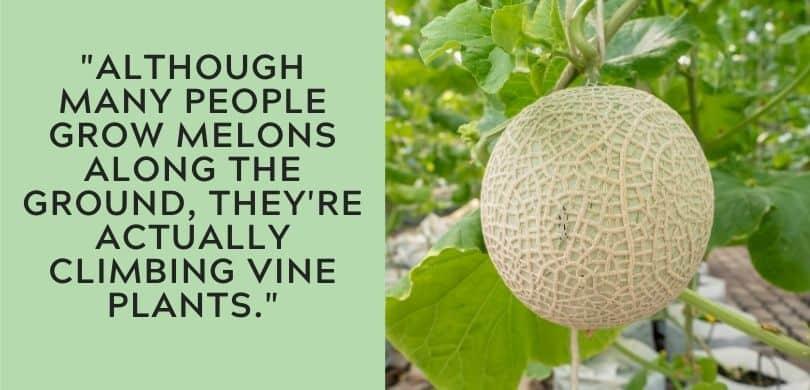 Climbing Melon Plant