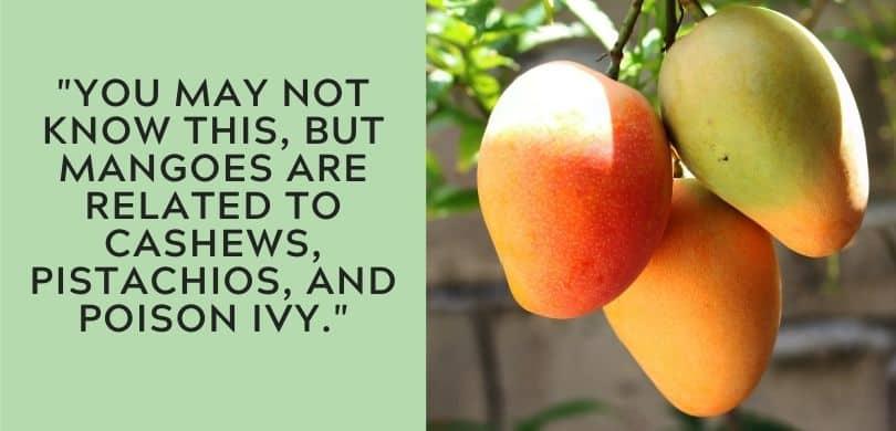Mango Fact