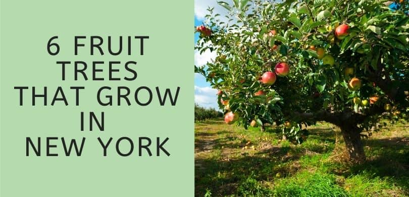 Fruit Trees that Grow in New York