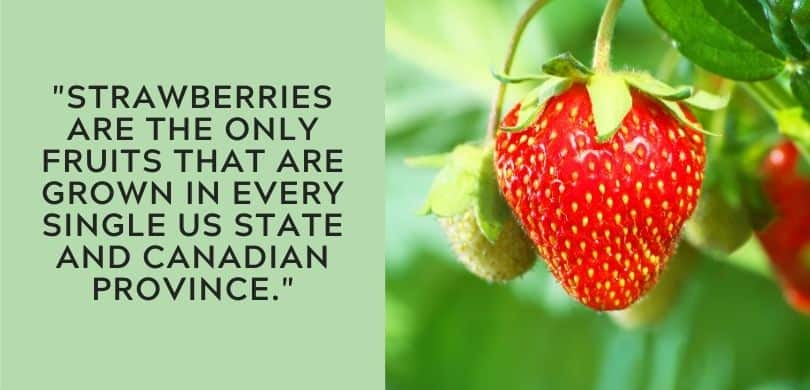 Strawberry Fun Fact