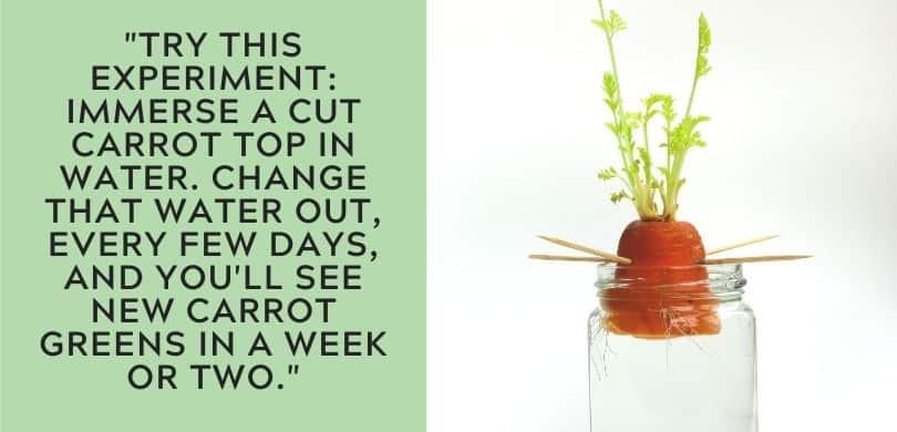 Regrow Carrots