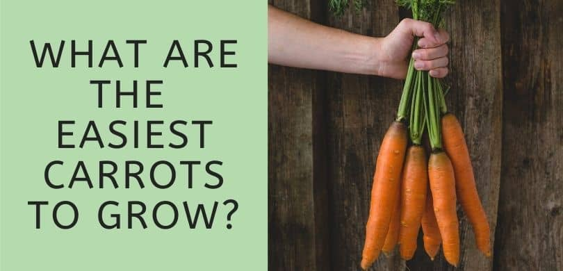 What are the Easiest Carrots to Grow