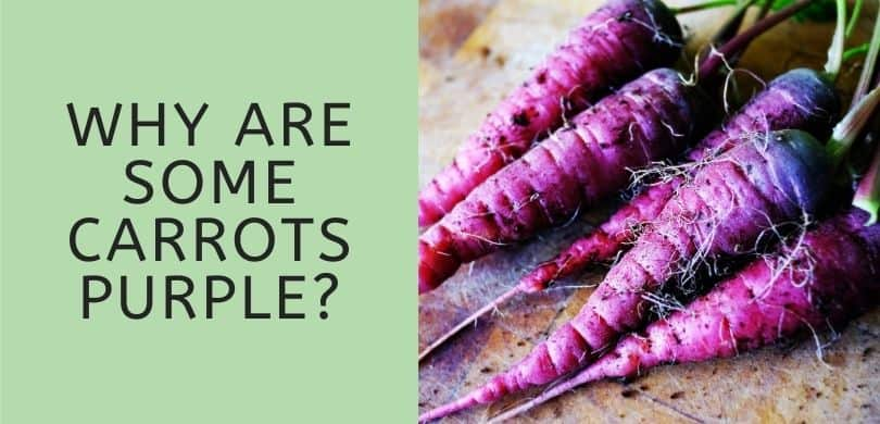 Why are Some Carrots Purple