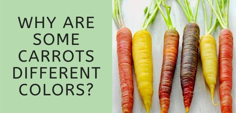 Why are some carrots different colors