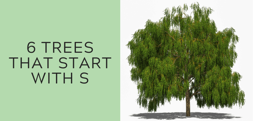 6 Trees that Start with S