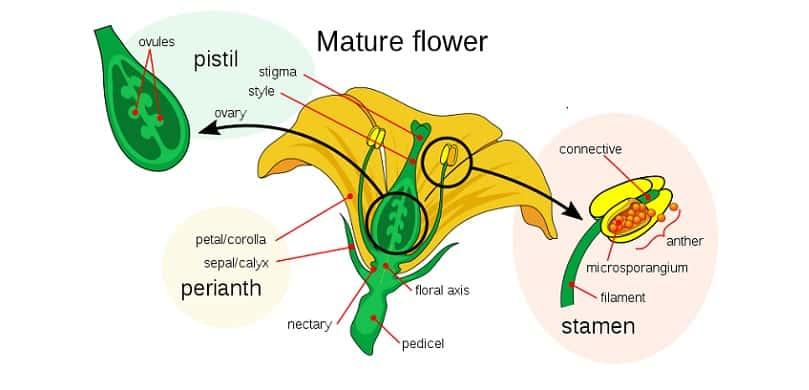 Flower Botany Terms