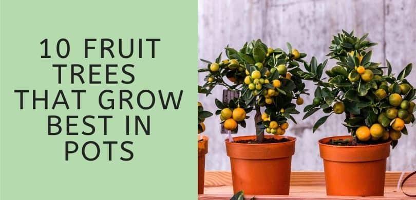 Fruit Trees that Grow Best in Pots