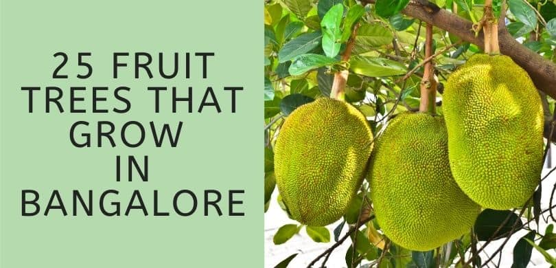 Fruit Trees that Grow in Bangalore