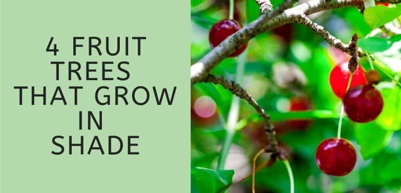 Fruit Trees that Grow in Shade
