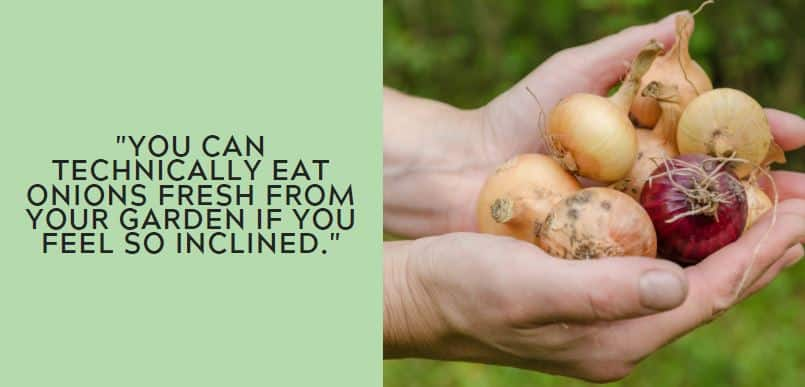 you can technically eat onions fresh from your garden if you feel so inclined.