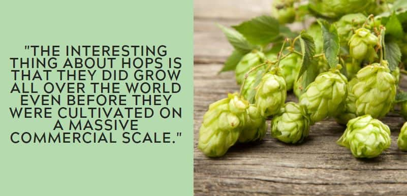 The interesting thing about hops is that they did grow all over the world even before they were cultivated on a massive commercial scale.