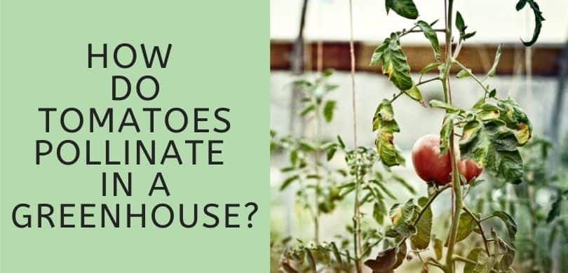 How do Tomatoes Pollinate in a Greenhouse