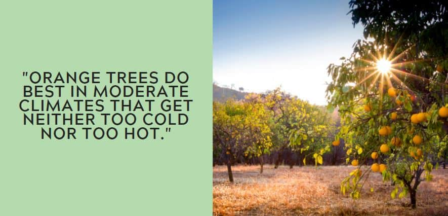 Orange trees do best in moderate climates that get neither too cold nor too hot.