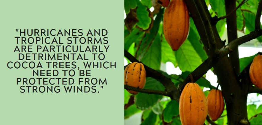 Hurricanes and tropical storms are particularly detrimental to cocoa trees, which need to be protected from strong winds.