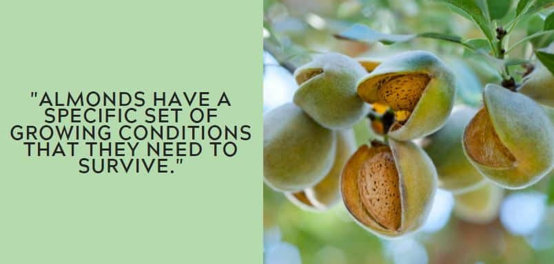 Almonds have a specific set of growing conditions that they need to survive.