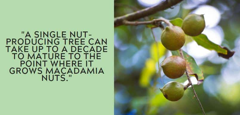 a single nut-producing tree can take up to a decade to mature to the point where it grows macadamia nuts.