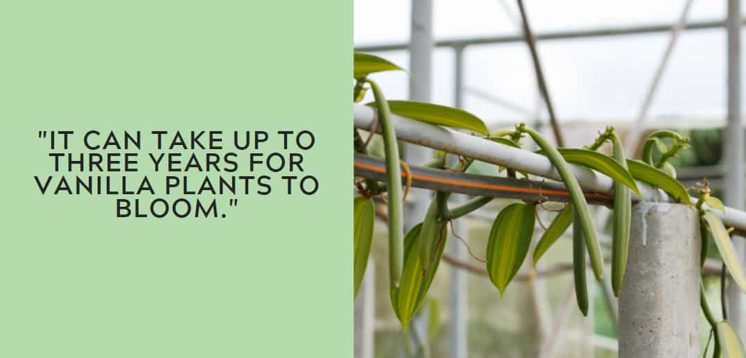 it can take up to three years for vanilla plants to bloom.